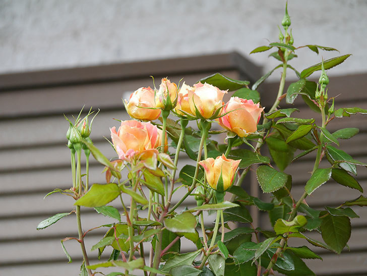 ランタン・シトロイユ(Lanterne Citrouille)の2番花が咲いた。半ツルバラ。2021年-001.jpg