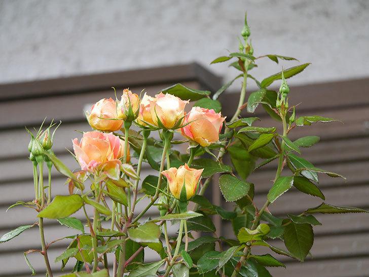 ランタン・シトロイユ(Lanterne Citrouille)の2番花が咲いた。半ツルバラ。2021年-002.jpg