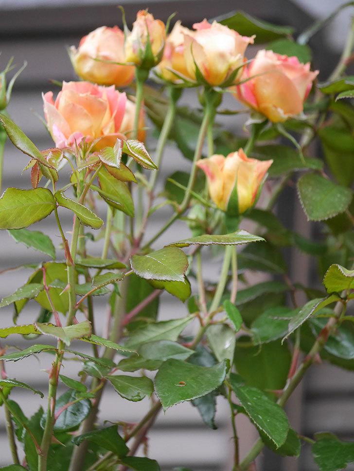 ランタン・シトロイユ(Lanterne Citrouille)の2番花が咲いた。半ツルバラ。2021年-003.jpg
