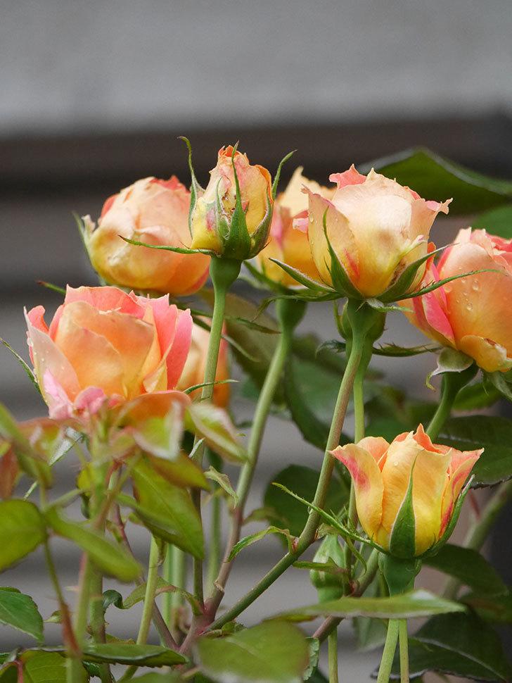 ランタン・シトロイユ(Lanterne Citrouille)の2番花が咲いた。半ツルバラ。2021年-004.jpg
