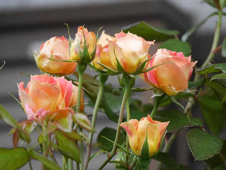 ランタン・シトロイユ(Lanterne Citrouille)の2番花が咲いた。半ツルバラ。2021年-006.jpg