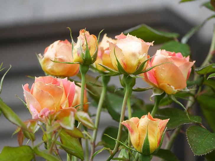 ランタン・シトロイユ(Lanterne Citrouille)の2番花が咲いた。半ツルバラ。2021年-007.jpg