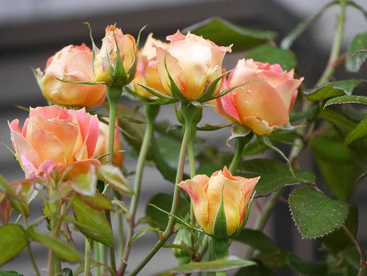 ランタン・シトロイユ(Lanterne Citrouille)の2番花が咲いた。半ツルバラ。2021年-008.jpg