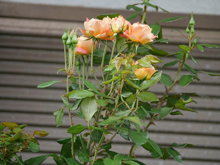 ランタン・シトロイユ(Lanterne Citrouille)の2番花が咲いた。半ツルバラ。2021年-009.jpg