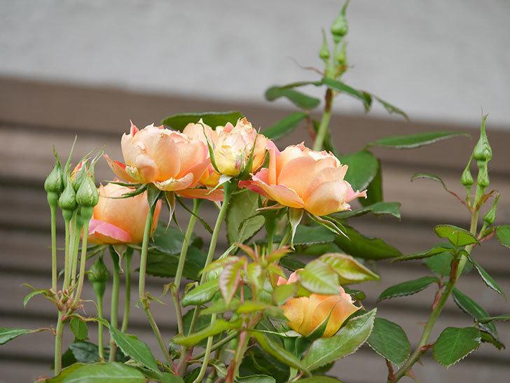 ランタン・シトロイユ(Lanterne Citrouille)の2番花が咲いた。半ツルバラ。2021年-010.jpg