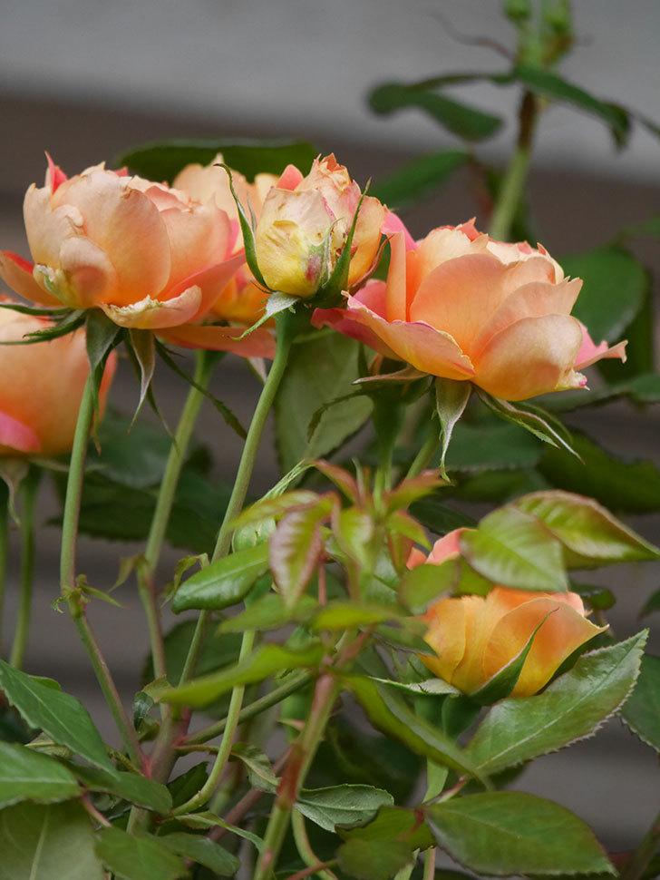 ランタン・シトロイユ(Lanterne Citrouille)の2番花が咲いた。半ツルバラ。2021年-011.jpg
