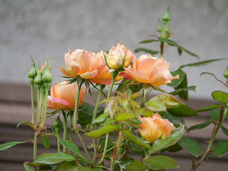ランタン・シトロイユ(Lanterne Citrouille)の2番花が咲いた。半ツルバラ。2021年-012.jpg