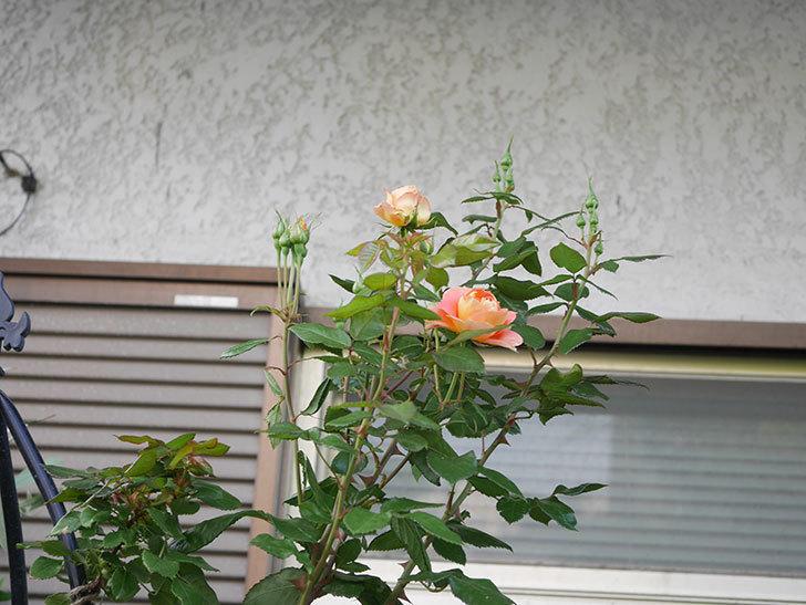 ランタン・シトロイユ(Lanterne Citrouille)の2番花が咲いた。半ツルバラ。2021年-013.jpg