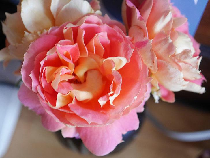 ランタン・シトロイユ(Lanterne Citrouille)の2番花が咲いた。半ツルバラ。2021年-014.jpg