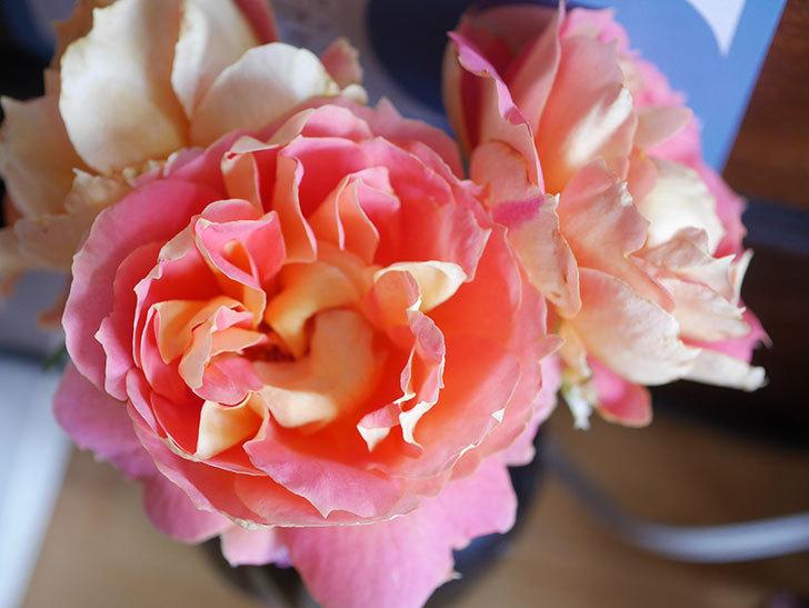 ランタン・シトロイユ(Lanterne Citrouille)の2番花が咲いた。半ツルバラ。2021年-015.jpg