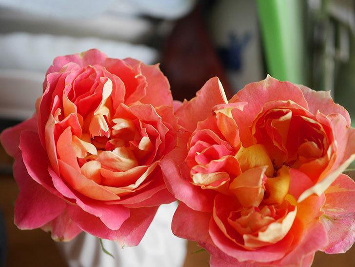 ランタン・シトロイユ(Lanterne Citrouille)の2番花が咲いた。半ツルバラ。2021年-017.jpg