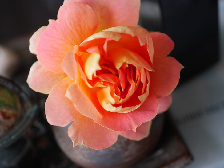 ランタン・シトロイユ(Lanterne Citrouille)の2番花が咲いた。半ツルバラ。2021年-018.jpg