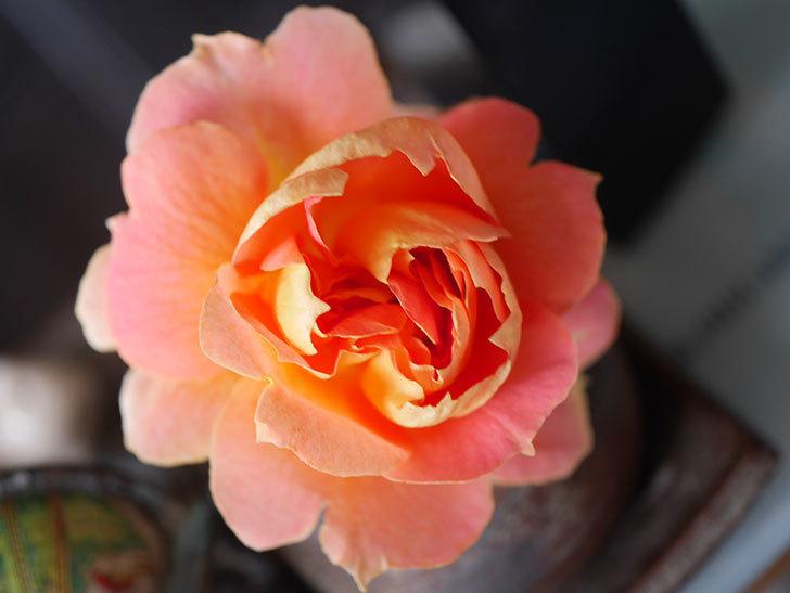 ランタン・シトロイユ(Lanterne Citrouille)の2番花が咲いた。半ツルバラ。2021年-019.jpg