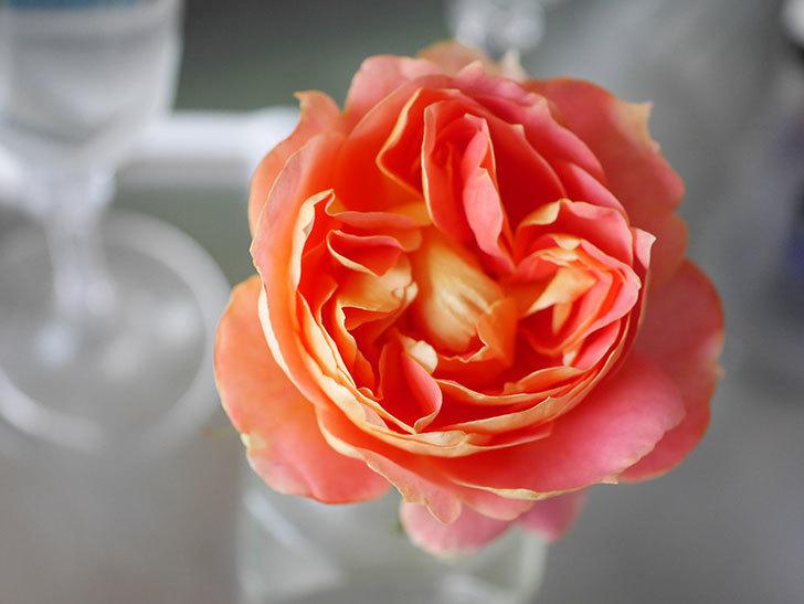 ランタン・シトロイユ(Lanterne Citrouille)の2番花が咲いた。半ツルバラ。2021年-020.jpg