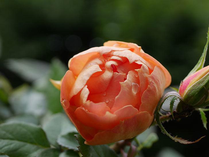 ランタン・シトロイユ(Lanterne Citrouille)の秋花が咲いた。半ツルバラ。2020年-004.jpg