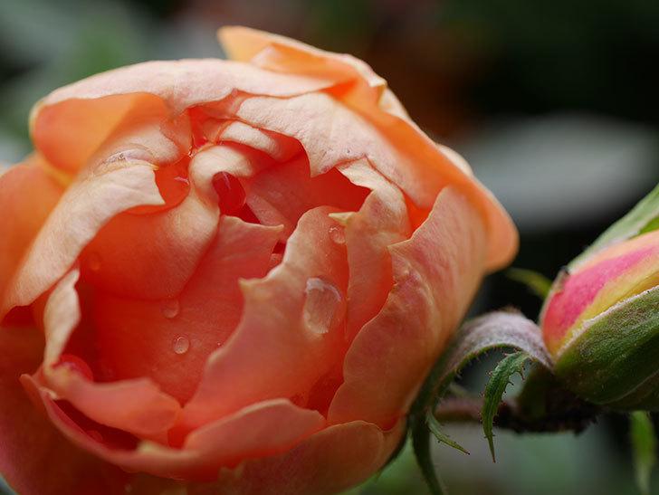ランタン・シトロイユ(Lanterne Citrouille)の秋花が咲いた。半ツルバラ。2020年-008.jpg