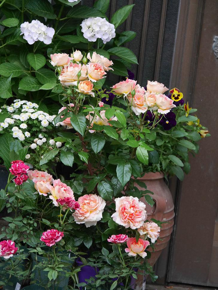 ランタン・シトロイユ(Lanterne Citrouille)の花がたくさん咲いた。半ツルバラ。2020年-003.jpg