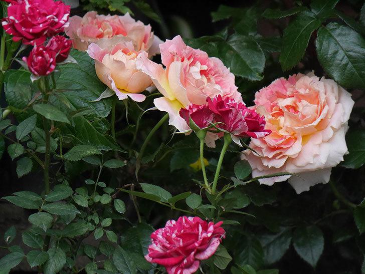 ランタン・シトロイユ(Lanterne Citrouille)の花がたくさん咲いた。半ツルバラ。2020年-007.jpg