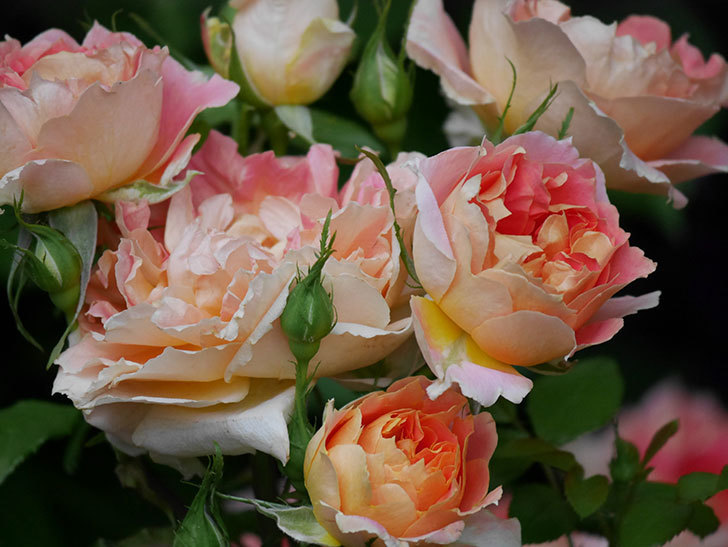 ランタン・シトロイユ(Lanterne Citrouille)の花がたくさん咲いた。半ツルバラ。2020年-011.jpg