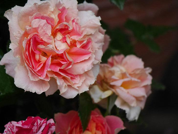 ランタン・シトロイユ(Lanterne Citrouille)の花がたくさん咲いた。半ツルバラ。2020年-013.jpg