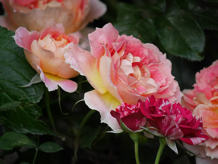 ランタン・シトロイユ(Lanterne Citrouille)の花がたくさん咲いた。半ツルバラ。2020年-014.jpg