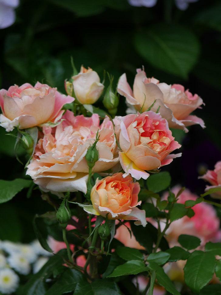 ランタン・シトロイユ(Lanterne Citrouille)の花がたくさん咲いた。半ツルバラ。2020年-015.jpg