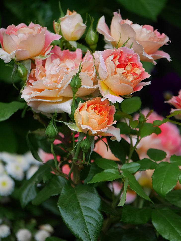 ランタン・シトロイユ(Lanterne Citrouille)の花がたくさん咲いた。半ツルバラ。2020年-016.jpg