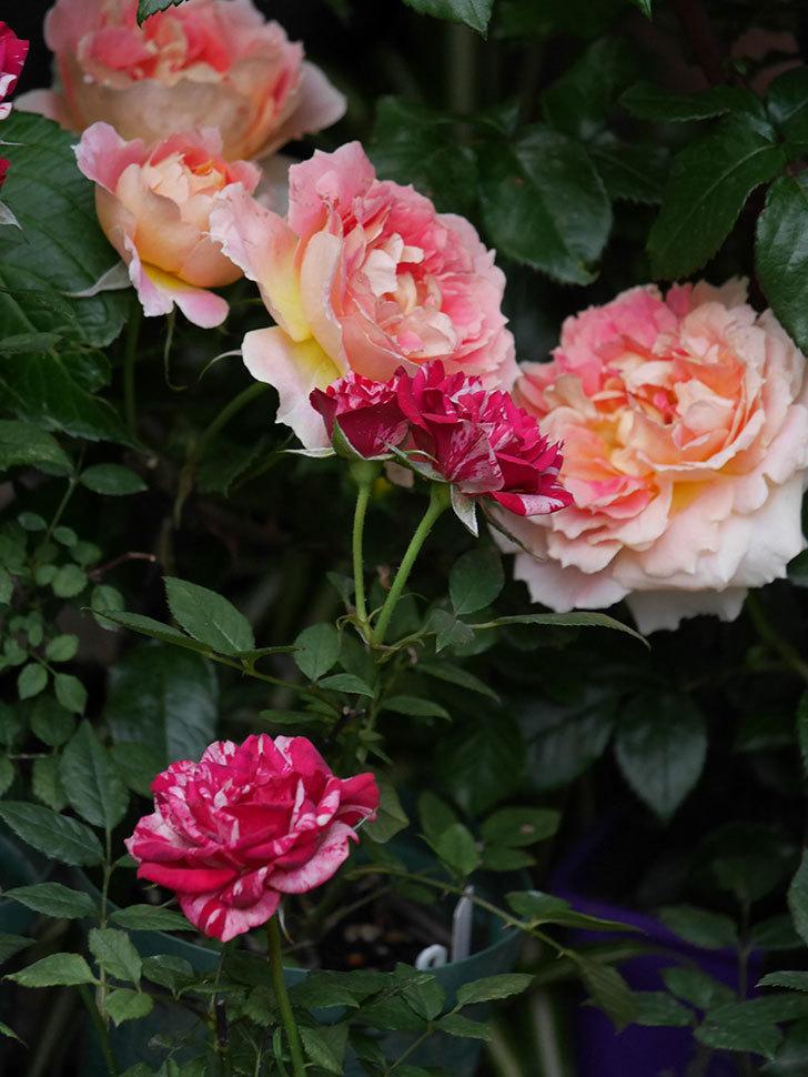 ランタン・シトロイユ(Lanterne Citrouille)の花がたくさん咲いた。半ツルバラ。2020年-019.jpg