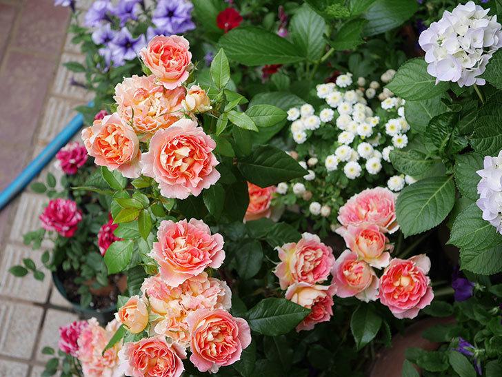 ランタン・シトロイユ(Lanterne Citrouille)の花がたくさん咲いた。半ツルバラ。2020年-025.jpg