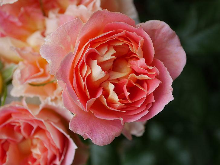 ランタン・シトロイユ(Lanterne Citrouille)の花がたくさん咲いた。半ツルバラ。2020年-029.jpg