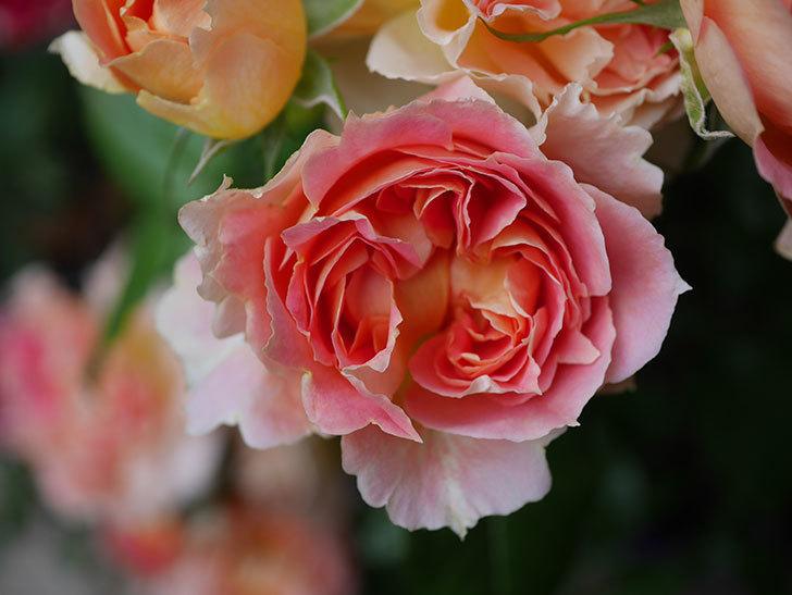 ランタン・シトロイユ(Lanterne Citrouille)の花がたくさん咲いた。半ツルバラ。2020年-030.jpg