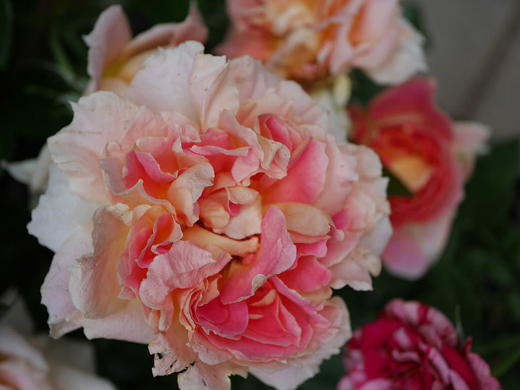 ランタン・シトロイユ(Lanterne Citrouille)の花がたくさん咲いた。半ツルバラ。2020年-045.jpg
