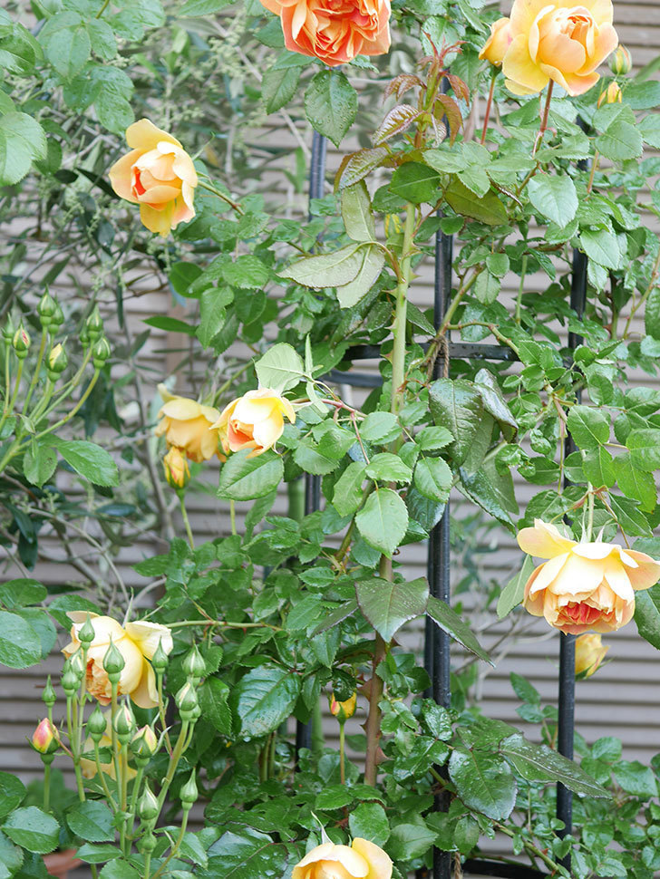ランタン・シトロイユ(Lanterne Citrouille)の花がたくさん咲いた。半ツルバラ。2021年-003.jpg