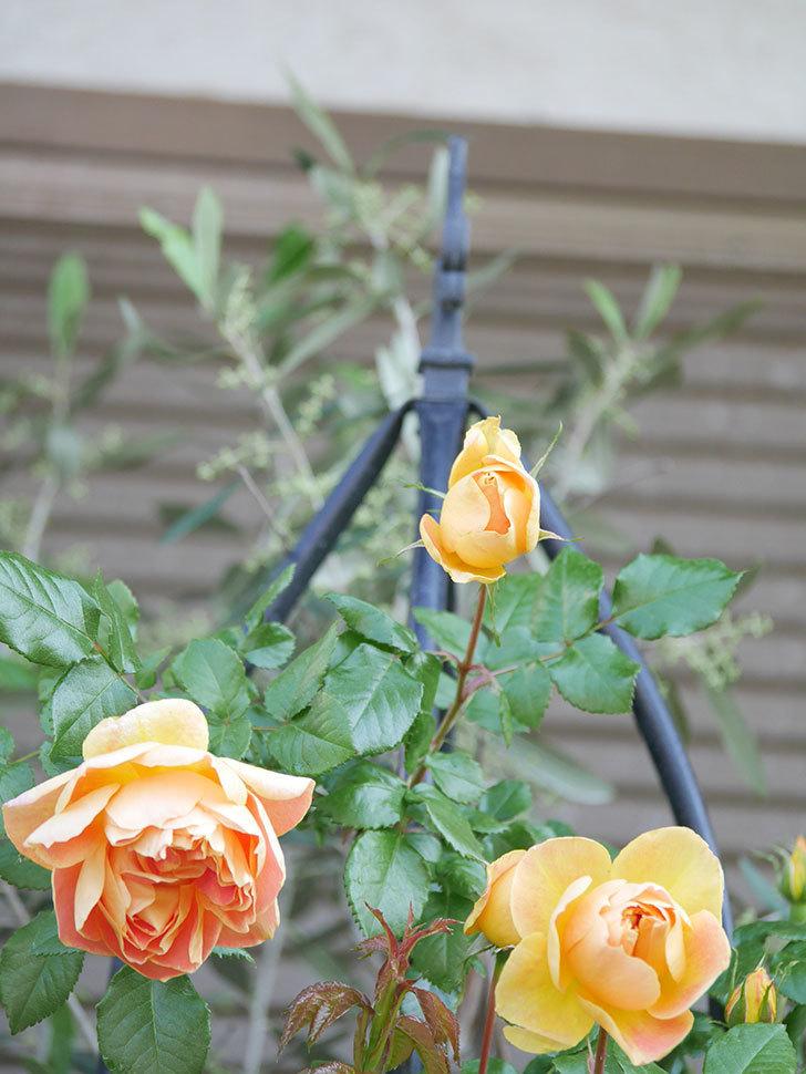ランタン・シトロイユ(Lanterne Citrouille)の花がたくさん咲いた。半ツルバラ。2021年-012.jpg