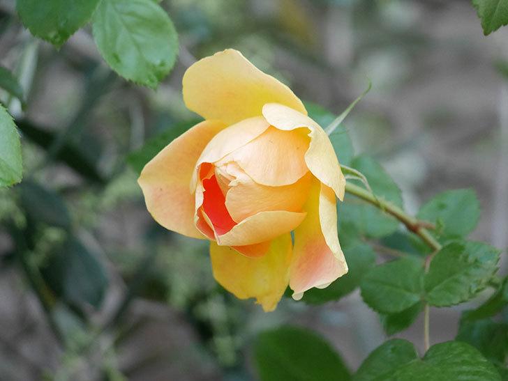 ランタン・シトロイユ(Lanterne Citrouille)の花がたくさん咲いた。半ツルバラ。2021年-015.jpg
