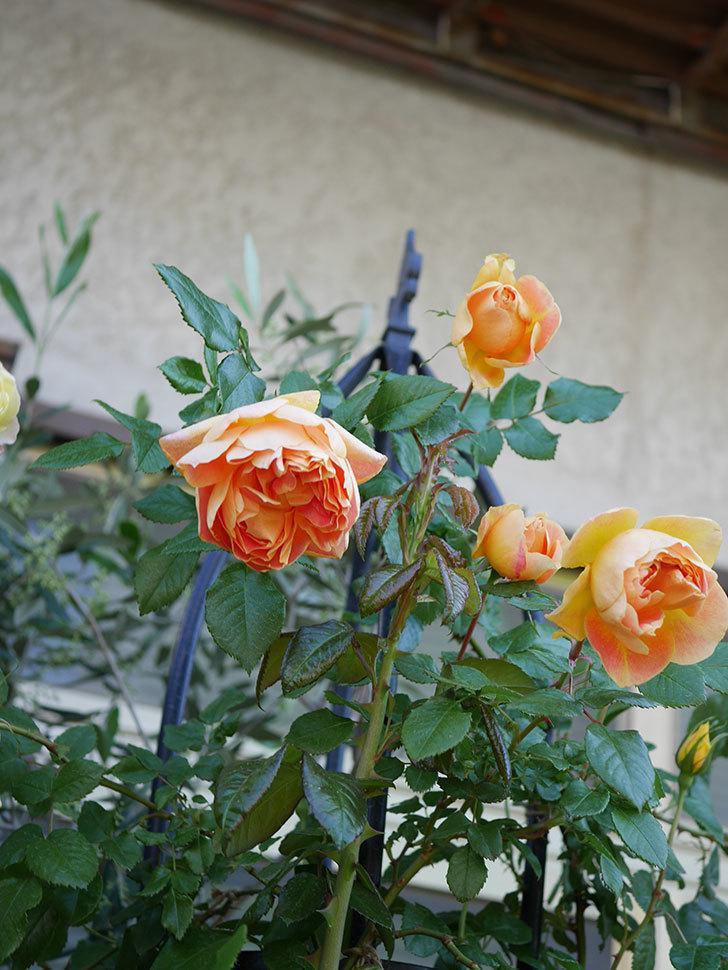 ランタン・シトロイユ(Lanterne Citrouille)の花がたくさん咲いた。半ツルバラ。2021年-024.jpg