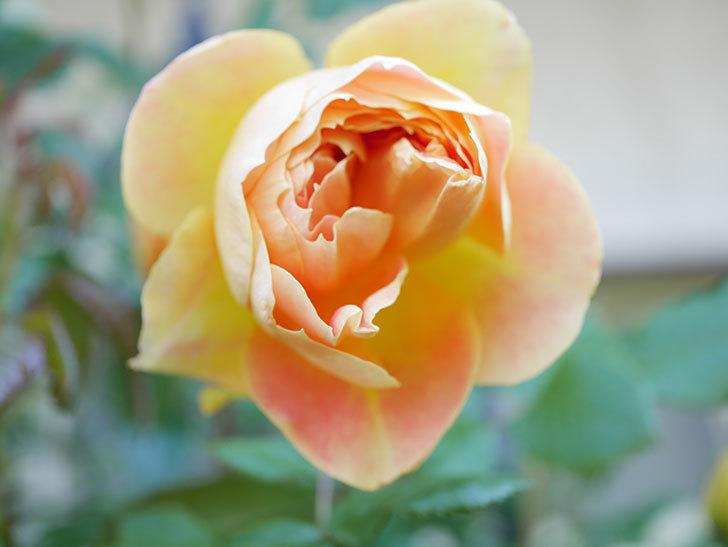 ランタン・シトロイユ(Lanterne Citrouille)の花がたくさん咲いた。半ツルバラ。2021年-026.jpg