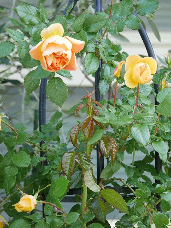 ランタン・シトロイユ(Lanterne Citrouille)の花が咲いた。半ツルバラ。2021年-002.jpg