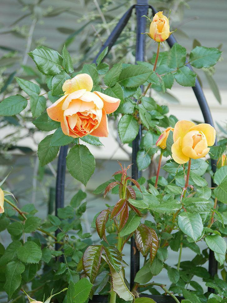 ランタン・シトロイユ(Lanterne Citrouille)の花が咲いた。半ツルバラ。2021年-003.jpg