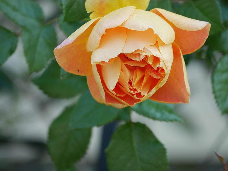 ランタン・シトロイユ(Lanterne Citrouille)の花が咲いた。半ツルバラ。2021年-004.jpg