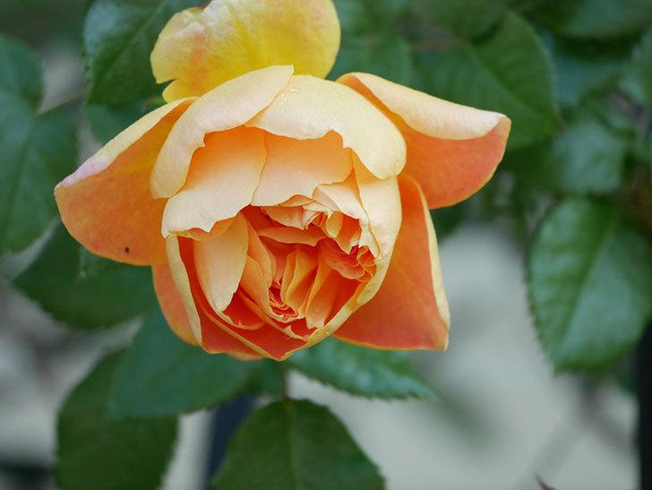 ランタン・シトロイユ(Lanterne Citrouille)の花が咲いた。半ツルバラ。2021年-005.jpg