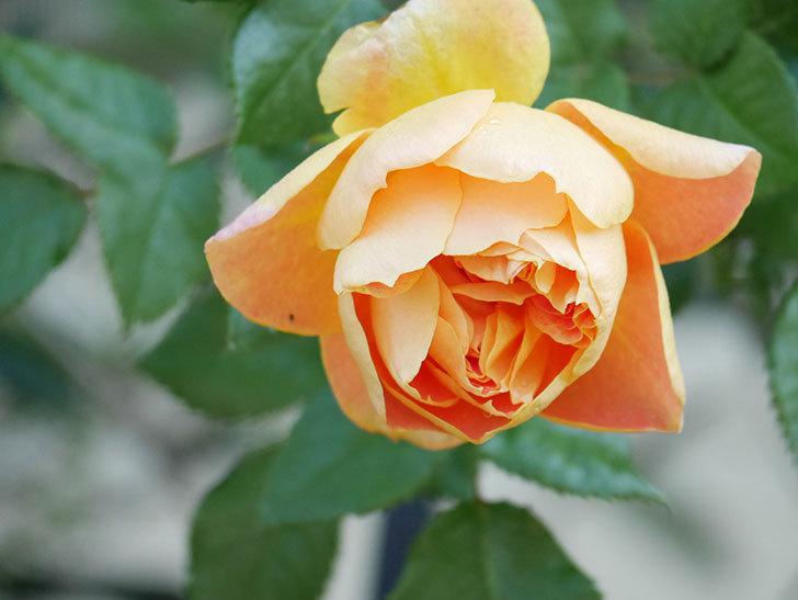 ランタン・シトロイユ(Lanterne Citrouille)の花が咲いた。半ツルバラ。2021年-006.jpg