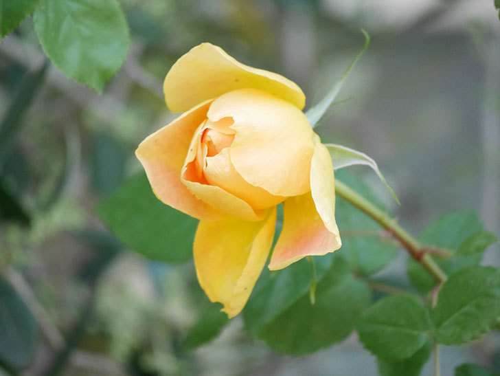 ランタン・シトロイユ(Lanterne Citrouille)の花が咲いた。半ツルバラ。2021年-007.jpg