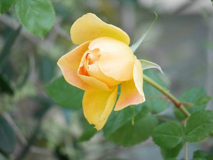 ランタン・シトロイユ(Lanterne Citrouille)の花が咲いた。半ツルバラ。2021年-008.jpg