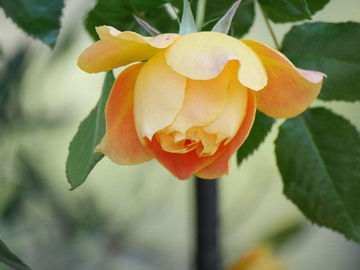 ランタン・シトロイユ(Lanterne Citrouille)の花が咲いた。半ツルバラ。2021年-010.jpg