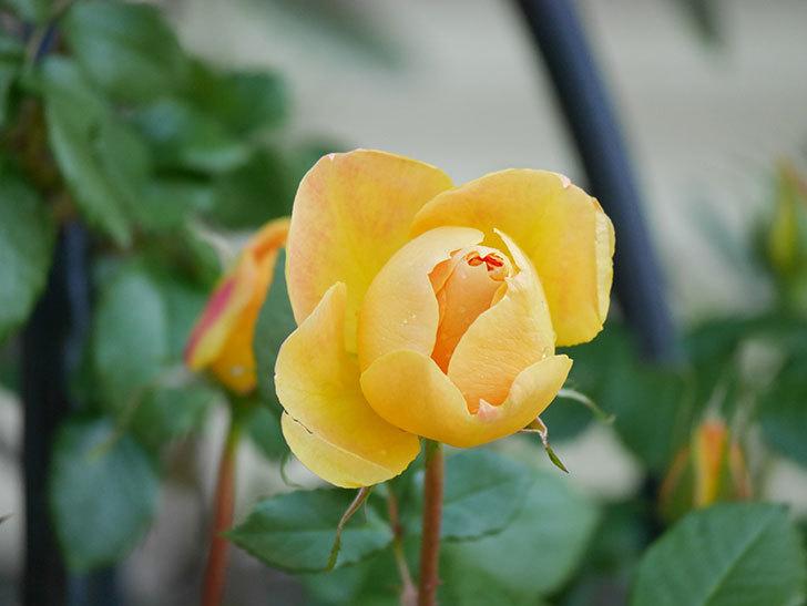 ランタン・シトロイユ(Lanterne Citrouille)の花が咲いた。半ツルバラ。2021年-012.jpg