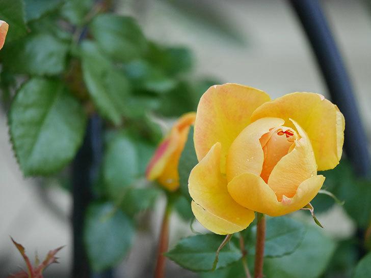 ランタン・シトロイユ(Lanterne Citrouille)の花が咲いた。半ツルバラ。2021年-013.jpg