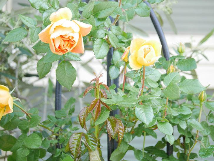 ランタン・シトロイユ(Lanterne Citrouille)の花が咲いた。半ツルバラ。2021年-015.jpg