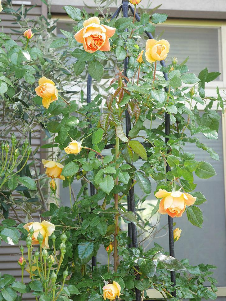 ランタン・シトロイユ(Lanterne Citrouille)の花が咲いた。半ツルバラ。2021年-017.jpg