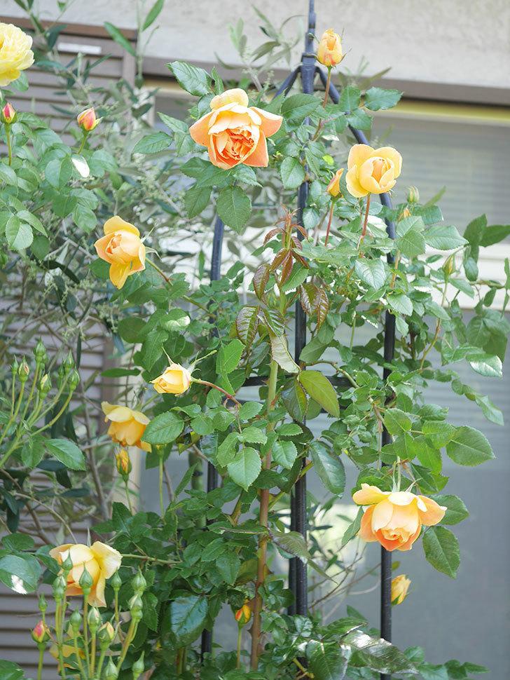 ランタン・シトロイユ(Lanterne Citrouille)の花が咲いた。半ツルバラ。2021年-019.jpg